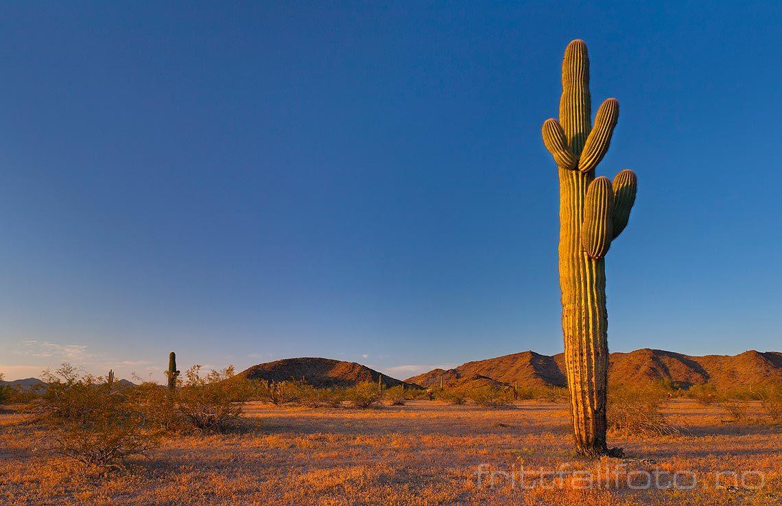 En enslig saguaro-kaktus vokser i Sonoran Desert National Monument nær Gila Bend, Arizona, USA.