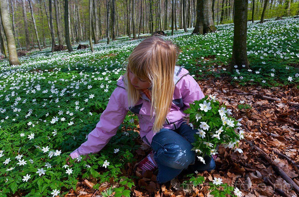 Ei lita jente plukker hvitveis i Bøkeskogen, Larvik, Vestfold og Telemark.<br>Bildenr 20080504-032.
