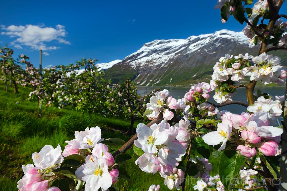 Fruktblomstring ved Lofthus, Ullensvang i Hardanger, Vestland.<br>Bildenr 20090515-098.