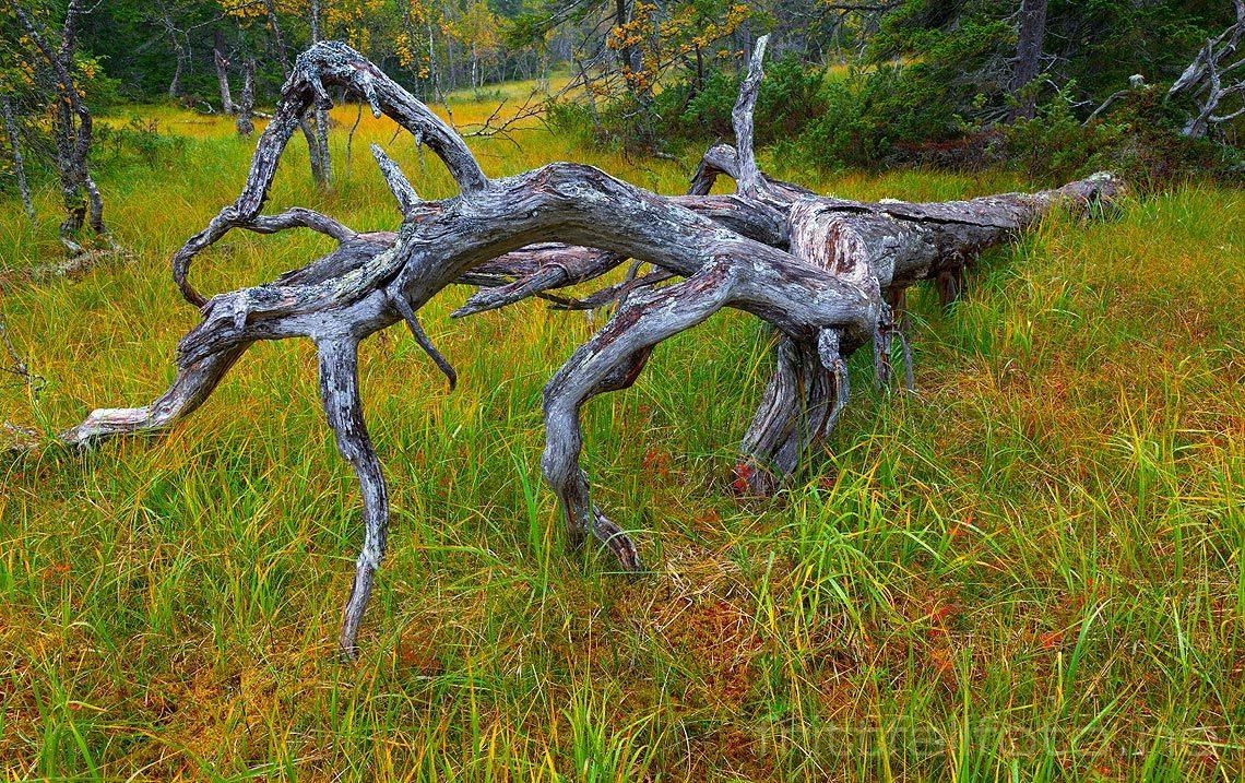 Høstfarger i Gutulia nasjonalpark, Engerdal, Hedmark.