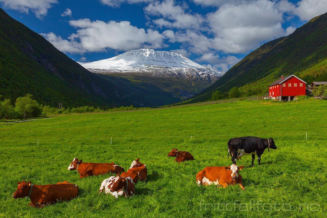 Snøkledte Gaustatoppen danner bakgrunn for nasjonalromantisk idyll i Vestfjorddalen, Tinn, Telemark.
