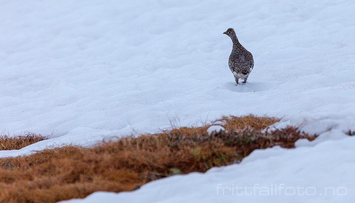 Fjellrype på Mælefjell, Hjartdal, Vestfold og Telemark.<br>Bildenr 20120621-271.