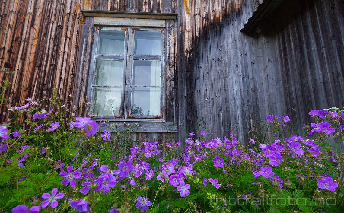 Skogstorkenebb blomstrer foran et gammelt hus i Sørskogbygda, Elverum, Hedmark.