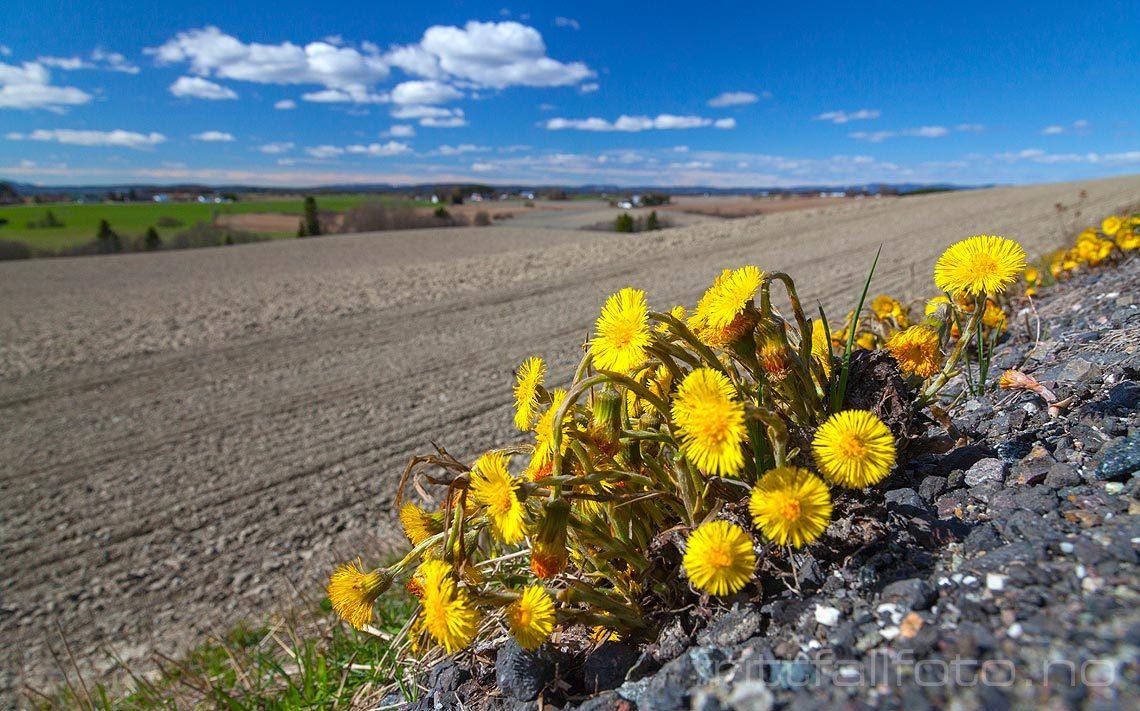 Hestehoven blomstrer nær Kløfta, Ullensaker på Romerike, Viken.<br>Bildenr 20140415-466.