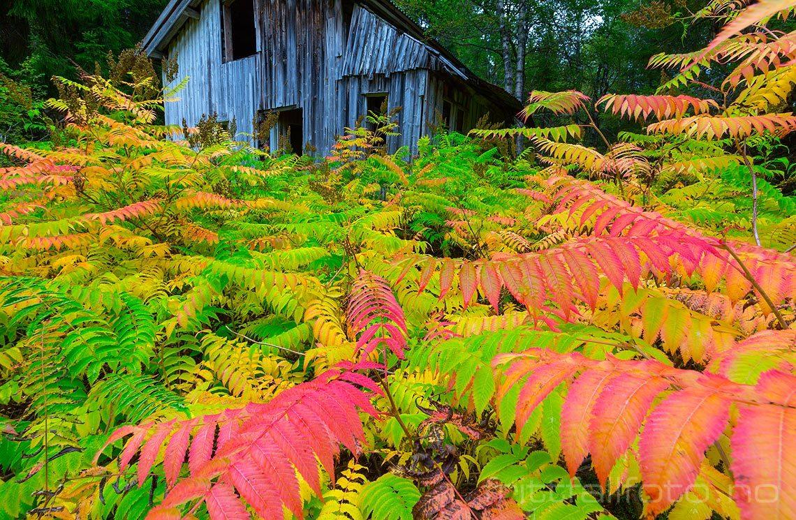 Fargerik vegetasjon omkranser det fraflyttede huset nær Dølemo, Åmli, Agder.<br>Bildenr 20140829-066.