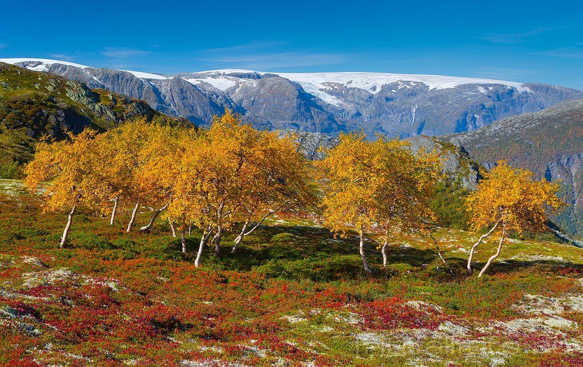 Folgefonna danner bakgrunn for fjellbjørkene ved Mosdalen nær Tyssedal, Ullensvang, Vestland.<br>Bildenr 20140914-312.