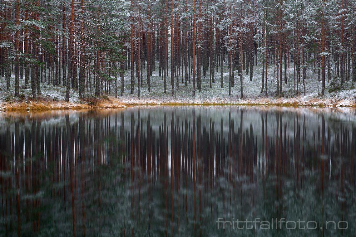 Første snøfall har drysset ned over skogen ved Sjodiplane, Åmi, Agder.<br>Bildenr 20141107-060.