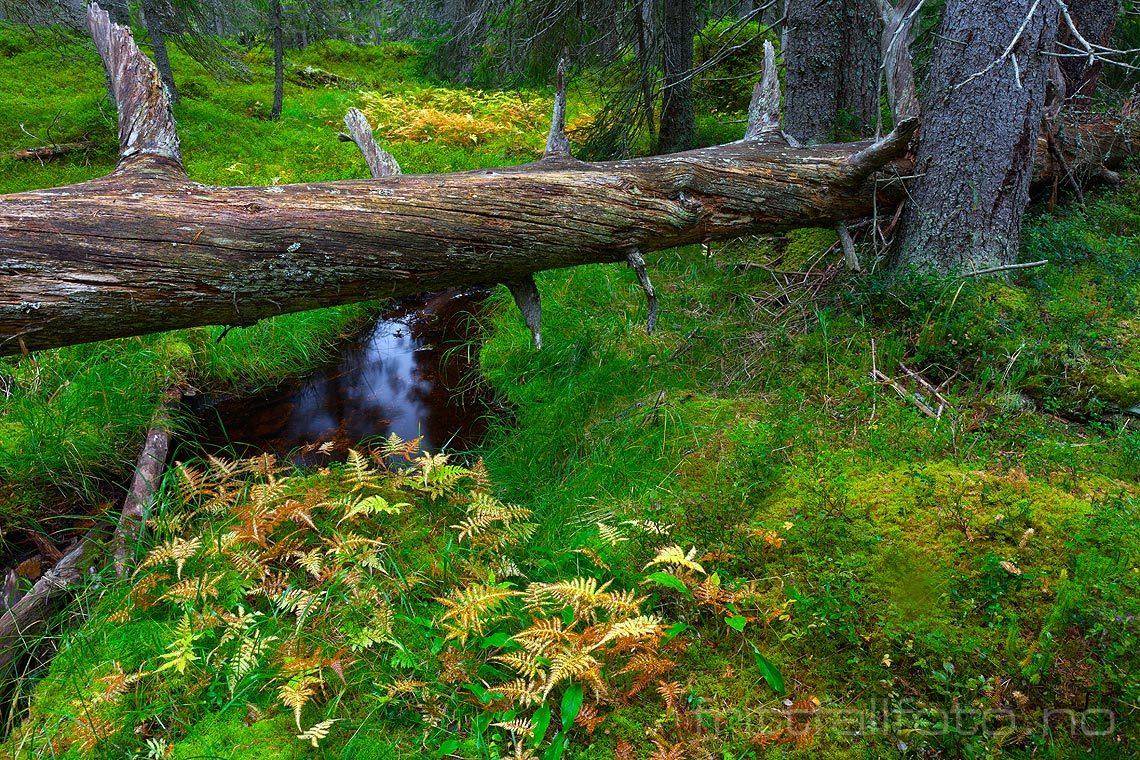 Skogsinteriør nær Orrknollen i Gutulia nasjonalpark, Engerdal kommune, Hedmark.