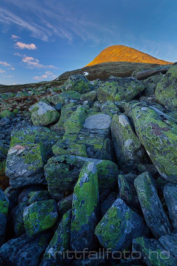 Muen lyser i kveldssola over steinura på Venabygdsfjellet, Ringebu, Innlandet.<br>Bildenr 20120627-197.