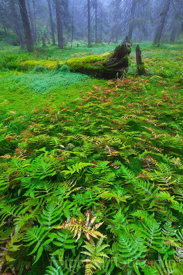 Skogsinteriør nær Midtkollen, Nordmarka, Oslo.<br>Bildenr 20120910-090.