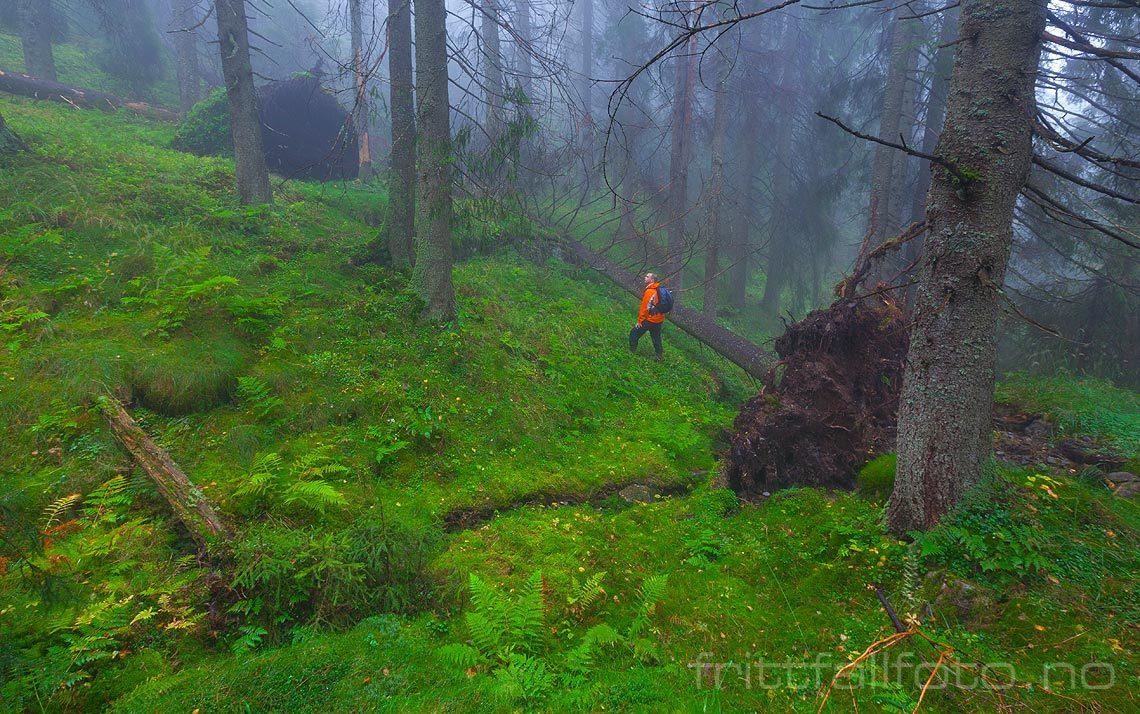 I skogen nær Vittenbergkollen, Nordmarka, Oslo.<br>Bildenr 20120910-142.