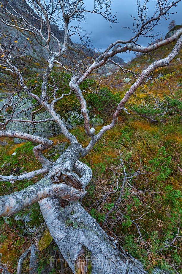 Krokete fjellbjørk ved Trongan i Hunnedalen, Sirdal kommune, Vest-Agder.