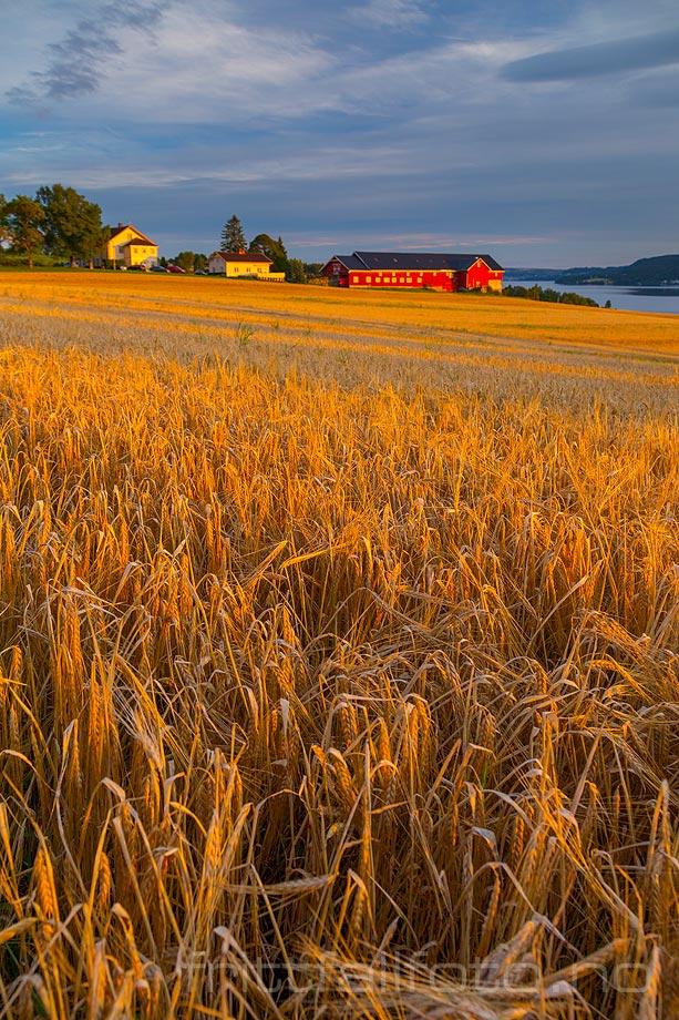 Gylden kornåker ved Vesle-ringsaker nær Moelv, Ringsaker, Innlandet.<br>Bildenr 20160830-699.