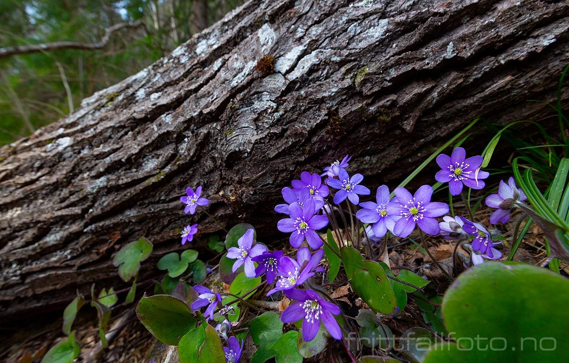 Blåveisen blomstrer i lia under Eriksteinfjellet, Midt-Telemark, Vestfold og Telemark.<br>Bildenr 20190406-068.