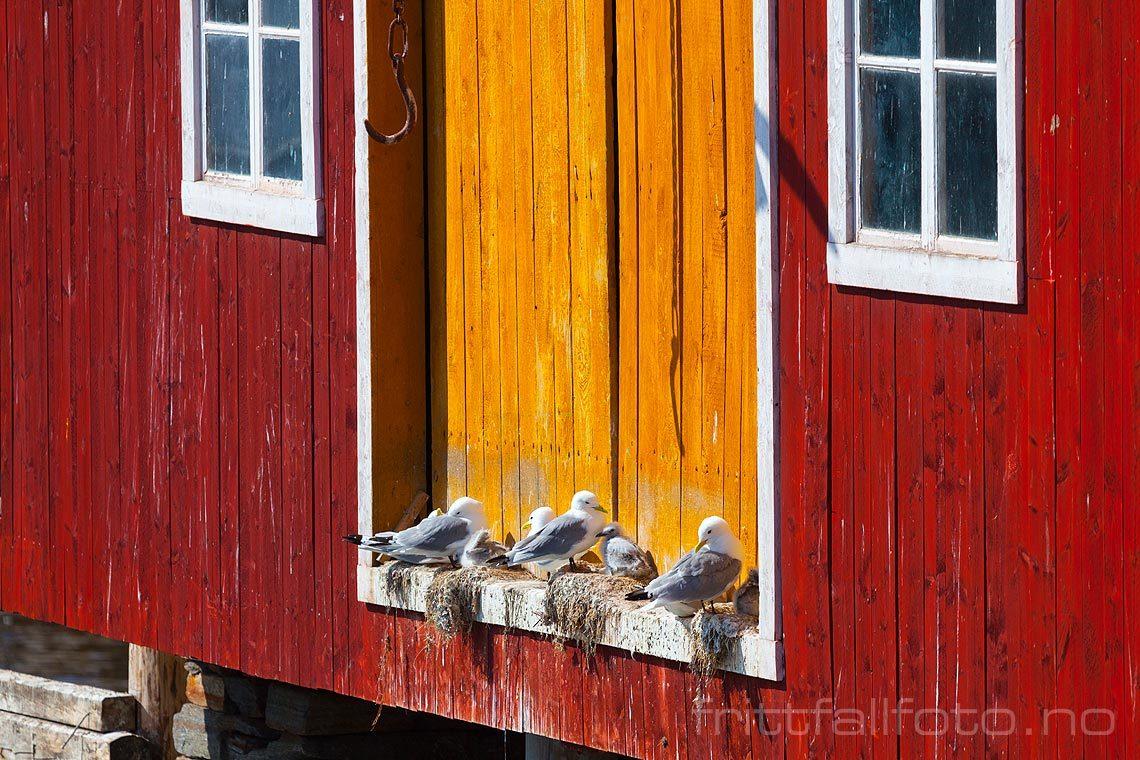 Måkene hekker ved gammelt sjøhus i Rørvik på Vikna, Nærøysund, Trøndelag.<br>Bildenr 20120709-104.