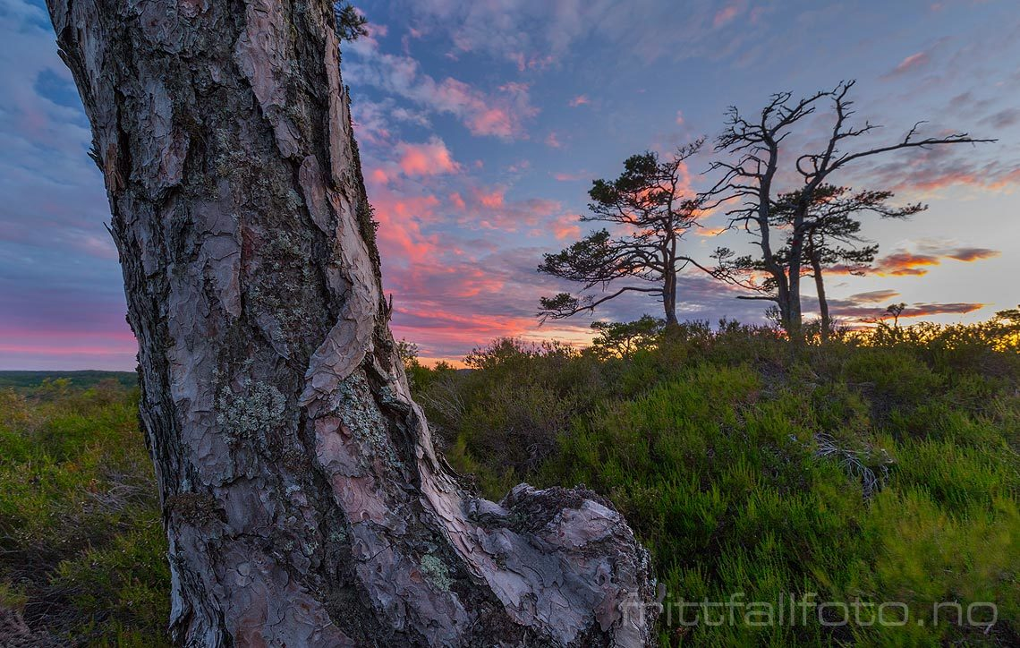 Sommerkveld i furuskogen på Sovehei, Lillesand, Agder.<br>Bildenr 20150619-061.