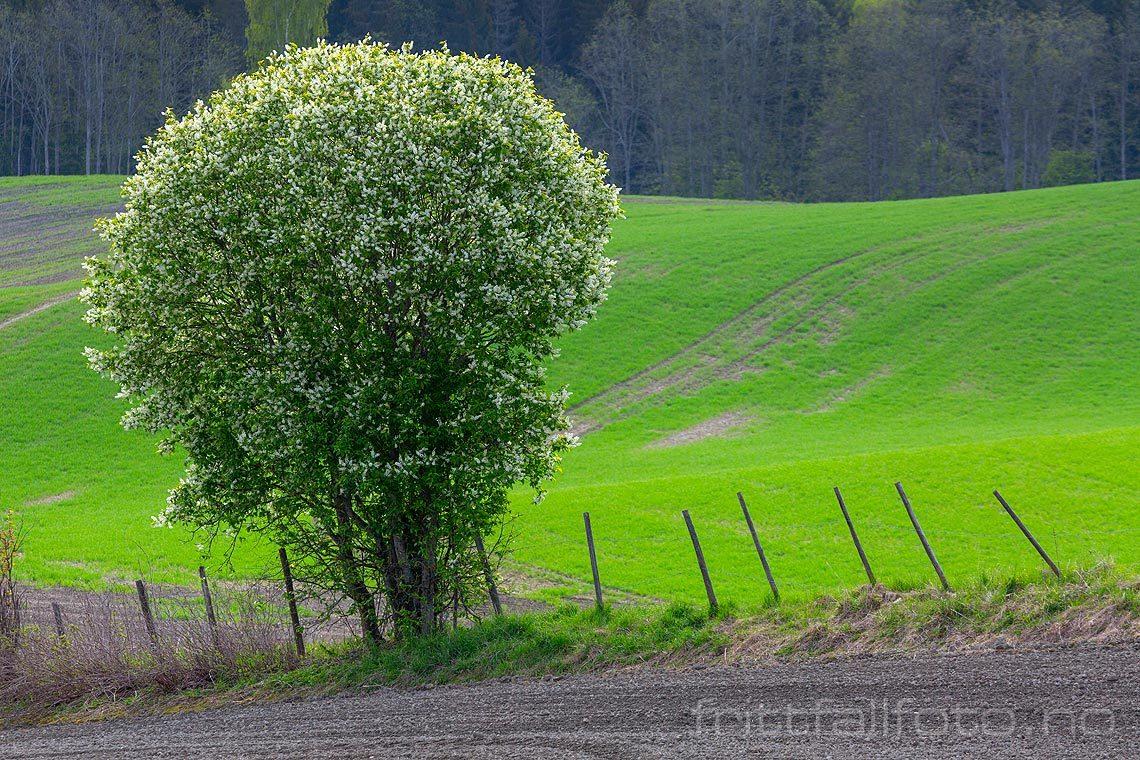 Heggen blomstrer ved Engelstad, Nannestad på Romerike, Viken.<br>Bildenr 20190515-170.
