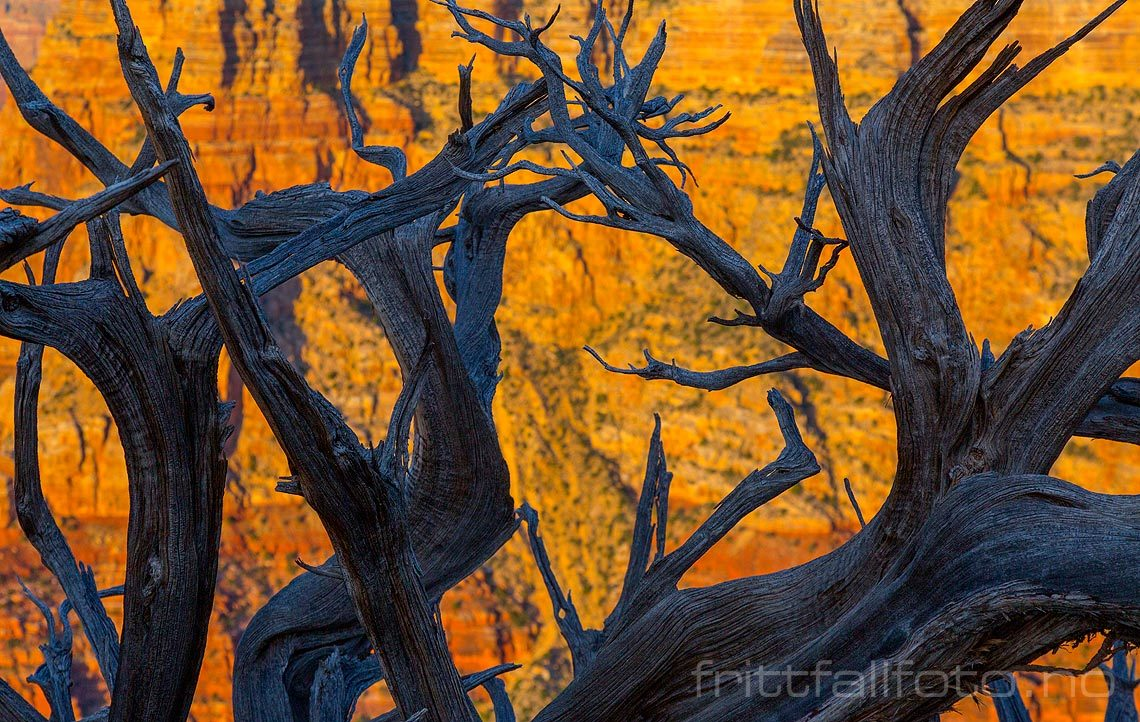 Cottonwood ved Zuni Point på South Rim, Grand Canyon, Coconino County, Arizona, USA.<br>Bildenr 20170404-444.