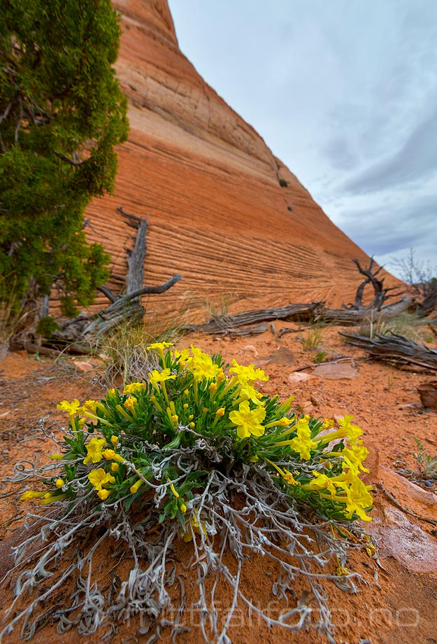 Yellow Evening Primrose i Halfway Hollow, Grand Staircase - Escalante National Monument, Garfield County, Utah, USA.<br>Bildenr 20170407-283.