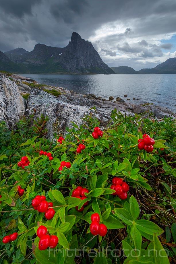 Skrubbær ved Flakstadvåg, Senja, Troms og Finnmark.<br>Bildenr 20200809-271.